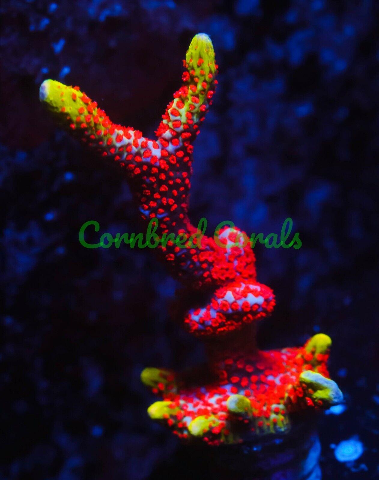 Cornbred s Bubble Gum Digi - Frag - LIVE CORAL - $74.99