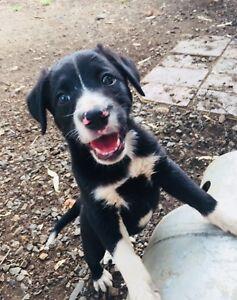 Border Collie x Kelpie Pups
