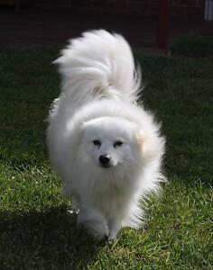 Japanese Spitz for sale Ulverstone Central Coast Preview