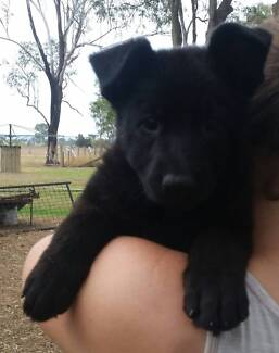 black/ dark black and gold /sable papered german shepherds Lowood Somerset Area Preview