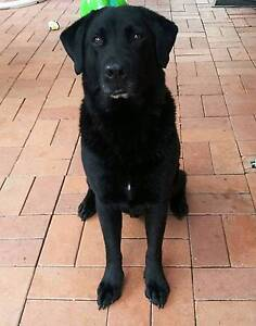 Loving Labrador in Need of Great Home - Very Friendly and Playful Tuggerah Wyong Area Preview