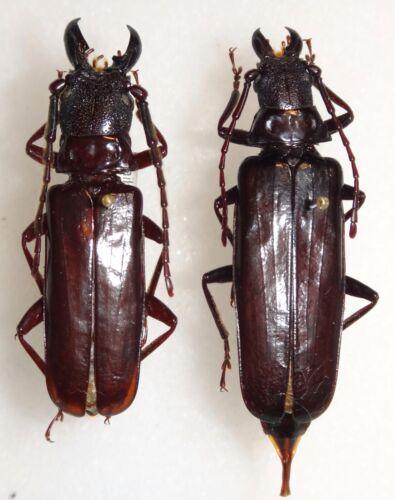 Cerambycidae Prioninae Eurypoda nigrita Pair Thailand #80 Beetle Insect Titanus