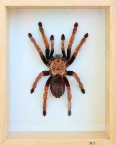 Unique Real Tarantula (Mexican Fire Leg) Taxidermy - Mounted,Framed