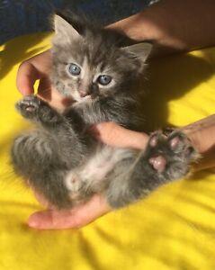Exotic kittens - one Manx