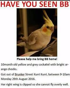 Lost grey/yellow/white cockatiel Kurri Kurri Cessnock Area Preview