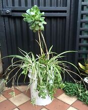 Large Healthy Spider Plants, Jade, Aeonium & Pigs Ear Succulent Garden North Melbourne Melbourne City Preview