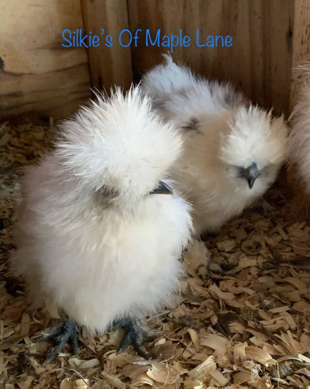 Silkies*** 6 Of the Best Silkie Hatching Eggs -Paint/Calico Paint