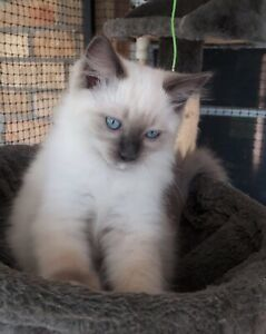 Beautiful blue point ragdoll male ready now