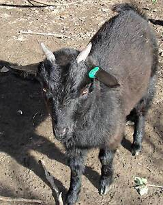 Small Female goat Williamstown Barossa Area Preview