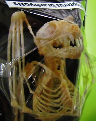 Lesser Short-nosed Fruit Bat Cynopterus brachyotis Skeleton FAST SHIP FROM USA
