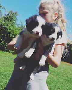 Purebred Border Collie Puppies Toowoomba Toowoomba City Preview
