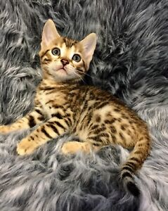 Bengals Pure bred with papers $1500 Girls