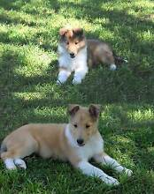 """""""COLLIE DOGS"""" Bred by Professional Breeders. Londonderry Penrith Area Preview"""
