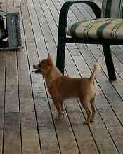 Blue Fawn Purebred Male Chihuahua Plainland Lockyer Valley Preview