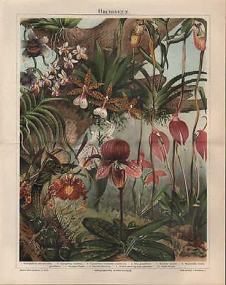 Chromo-Lithografie 1896: Orchideen Pflanzen Blumen Blüten