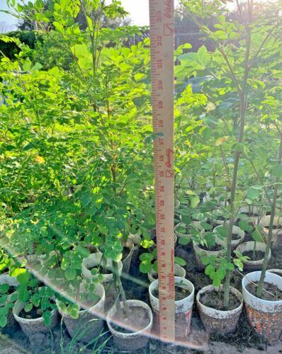 Grown Moringa