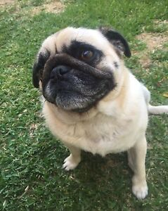 Pugalier 6yr old $1000 (not neg) Pug X King Charles Cavalier Dudley Park Mandurah Area Preview