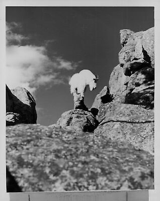 Mountain Goat Stands (1955 Magestic Rocky Mountain Goat Awkward Stand Press Photo )