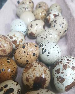 Bite Size Eggs!!! Burra Queanbeyan Area Preview