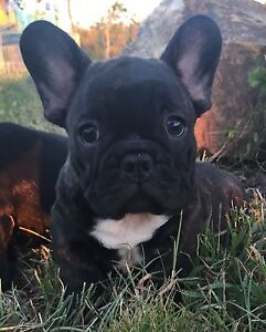 French bulldog Male EUROPEAN Multi Champions bloodlines DNA CLEAR Widgee Gympie Area Preview