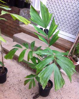 Silver Foxtail Palm - NEW Native rare palm - NORMANBYA Casula Liverpool Area Preview