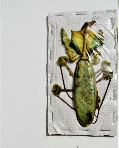 Giant Devil Flower Mantis Idolomantis diabolica Female  FAST FROM USA