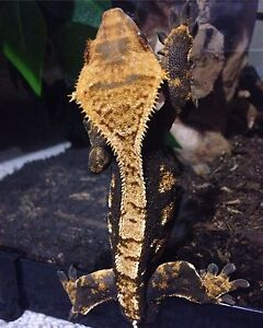 MALE Crested Gecko for sale! WITH ENCLOSURE