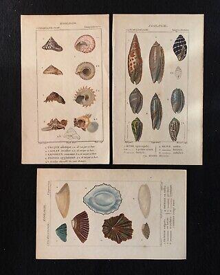 3 Antique Original Handcoloured Seashell Prints C19th Conchology Mollusca