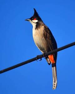 2 x Bulbul birds  One pair (M + F) Springvale South Greater Dandenong Preview