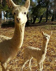 Mum and baby girl alpacas great pets. Breeders Lyndoch Barossa Area Preview