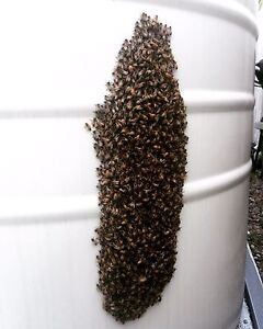 Swarm and beehive removal- Brisbane. Ferny Hills Brisbane North West Preview