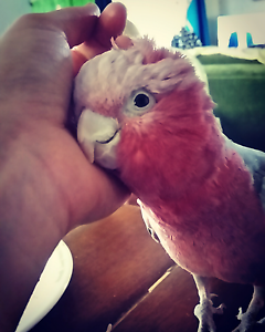 Galah, male, tame + cage & accessories Golden Bay Rockingham Area Preview