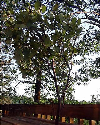 8 Manzanita Branches Centerpieces Fresh Cut 20-24