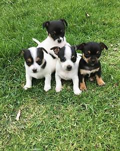 Chihuahua cross Mini Fox Terrier Riverwood Canterbury Area Preview