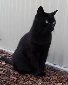LOST BLACK CAT - RYTON STREET KINGS MEADOWS Kings Meadows Launceston Area Preview