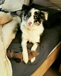Missing border collie McLaren Flat Morphett Vale Area Preview