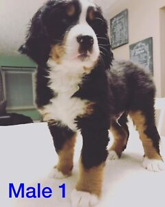 Bernese Mountain Puppies **please read the full ad**