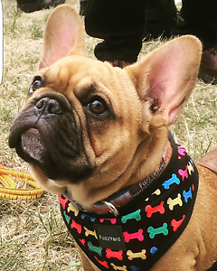 Wanted: Female french bulldog mains papers Rowville Knox Area Preview