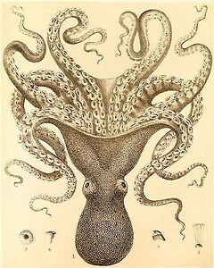 Victorian Octopus Art Print 8 x 10 - Haeckel - Nautical - Sea Creature - Ocean