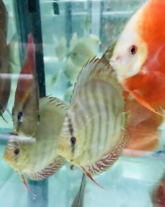 discus fish in Sydney Region 7065576b254c
