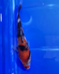 High Quality Showa KOi fish for sale