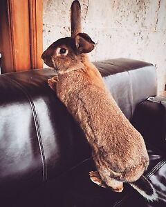 Pet Rabbit - giant Flemish cross