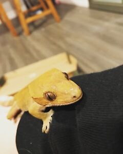 Male Crested Gecko!!!  Beginners pet