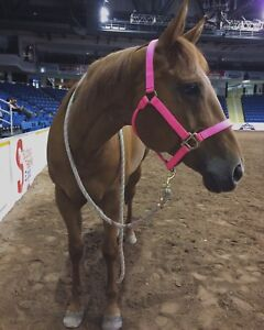 13 year old QH mare for sale