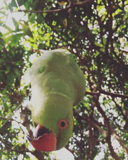 Wanted: LOST INDIAN RINGNECK PARROT