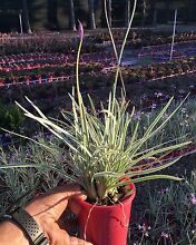 Society garlic plants for Perth grower direct Darch Wanneroo Area Preview