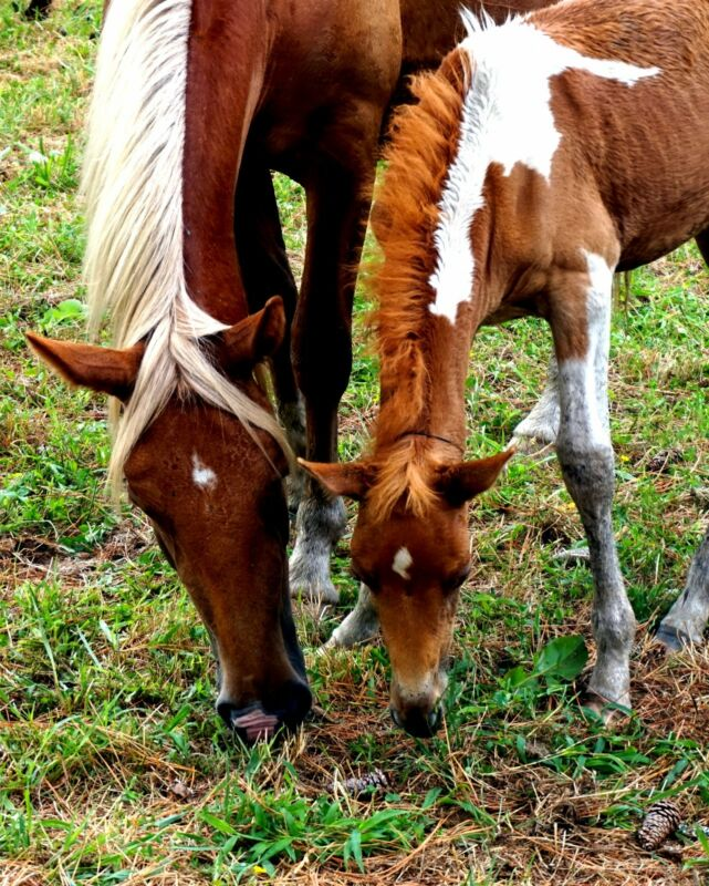 Fine Art Photography Chincoteague Wild Horses Mother Baby Photo 8x10 matted