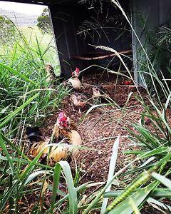 Bantam chickens Kin Kin Noosa Area Preview
