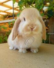 Pure Bred Mini Lop Orange Doe Marleston West Torrens Area Preview