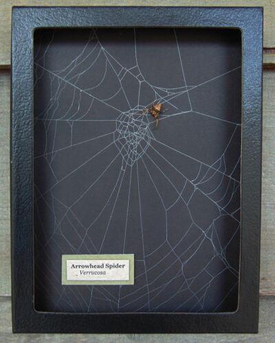 E716) Real Arrowhead Verrucosa Spider on actual Web 6X8 framed taxidermy display